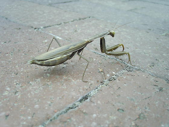 Praying Mantis - Mantis religiosa - female