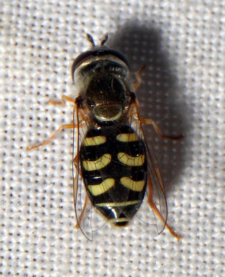 Lapposyrphus lapponicus - Eupeodes volucris