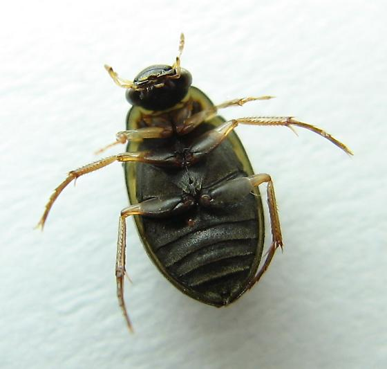 Water Scavenger Beetle - Berosus sayi