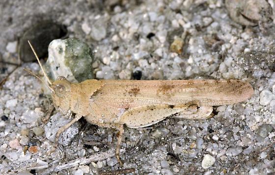 Yet another Zayante Sandhills grasshopper - Trimerotropis thalassica - female