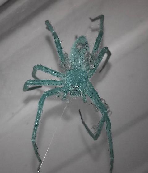 Blue Spider  - Pisaurina mira - female