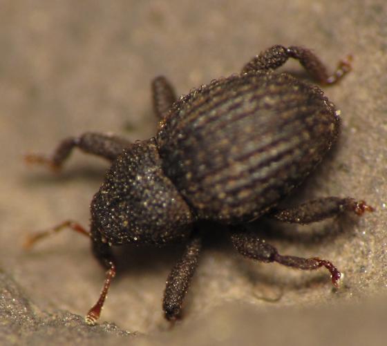 Curculionidae - Eurhoptus
