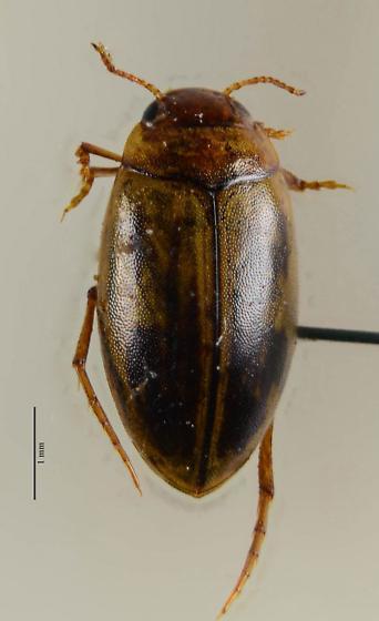 Dytiscidae of sorts. - Coelambus