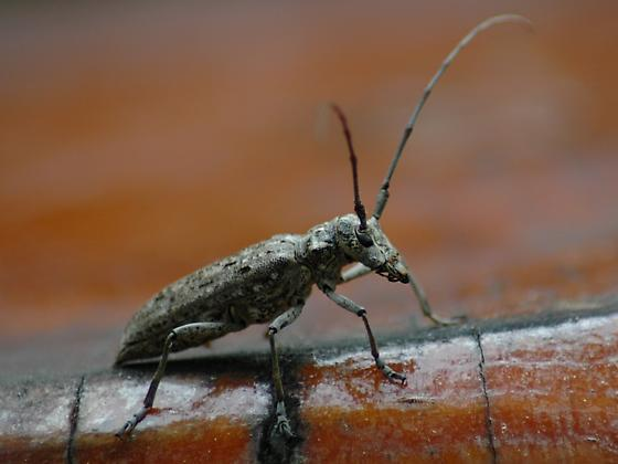 Pine Sawyer Beetle - Monochamus notatus