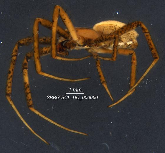 Araneae - Argiope argentata