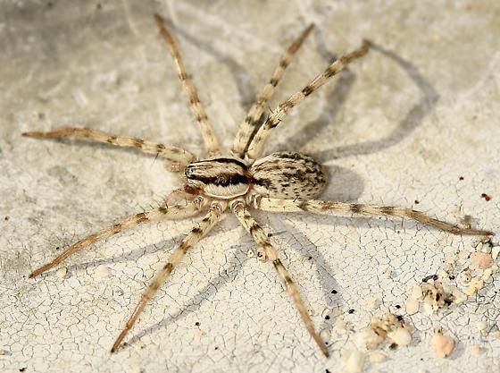 spider - Syspira - female
