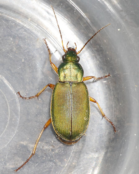 Iridescent green beetle - Chlaenius sericeus