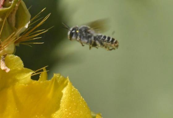 Native ? Bee