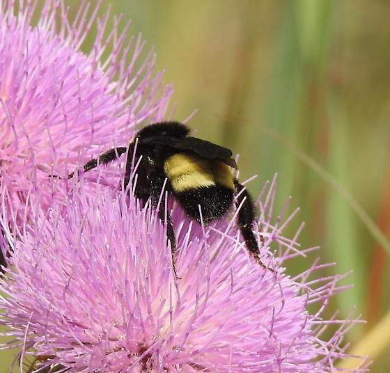 Black-and-Gold Bumblebee? - Bombus auricomus