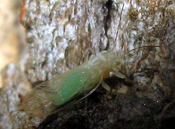 Psyllid - Cacopsylla annulata