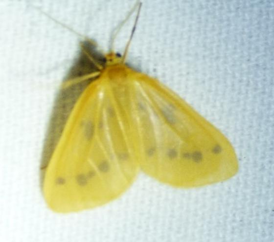 Eubaphe meridiana – Little Beggar Moth - Eubaphe meridiana