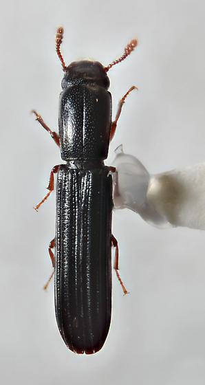 Colydium - Colydium lineola