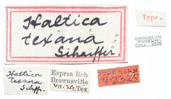 Altica texana Schaeffer - Altica texana