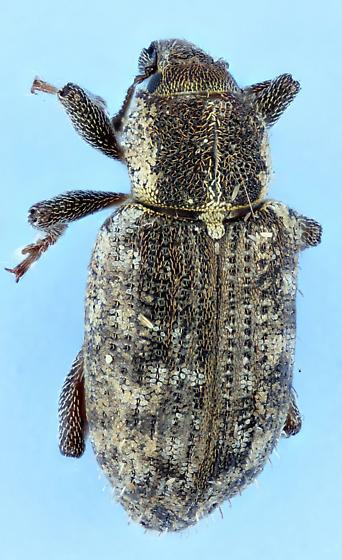 weevil - Listronotus maculicollis