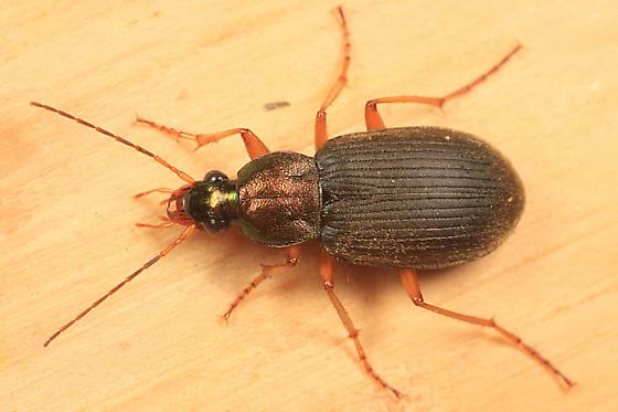 Vivid Metallic Ground Beetle - Chlaenius tricolor