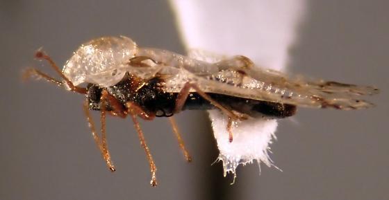 Corythucha salicata? - Corythucha salicata