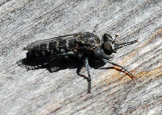 Small robber fly needs ID - Nannocyrtopogon irvinei