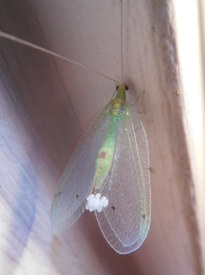 Lacewing sp.? - Leucochrysa insularis - female