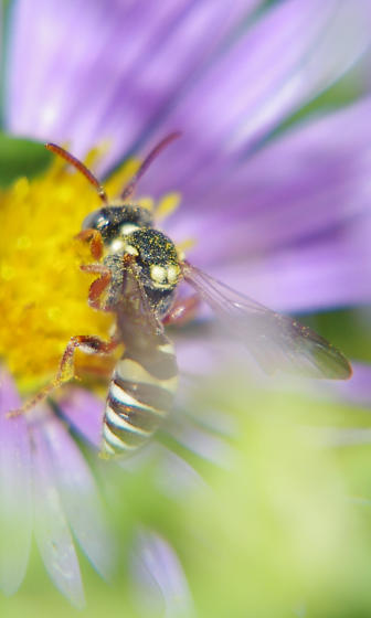 Cuckoo Bee - Nomada - male