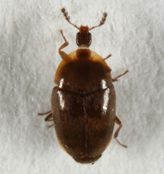 Corylophidae - Arthrolips