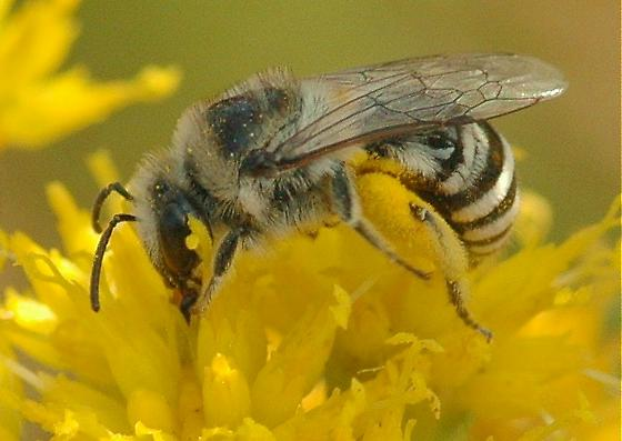 Plasterer Bee - Colletes simulans - female