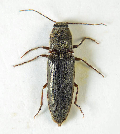 Clicker.. - Hemicrepidius - male