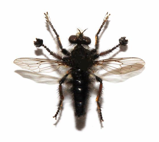 Fly with flaring on feet - Cyrtopogon callipedilus