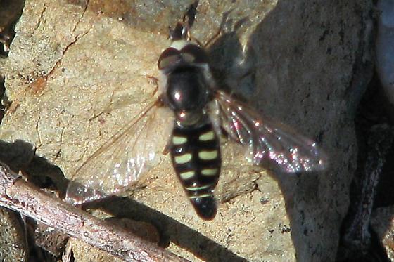 Tiny bee in Phoenix - Eupeodes volucris - male