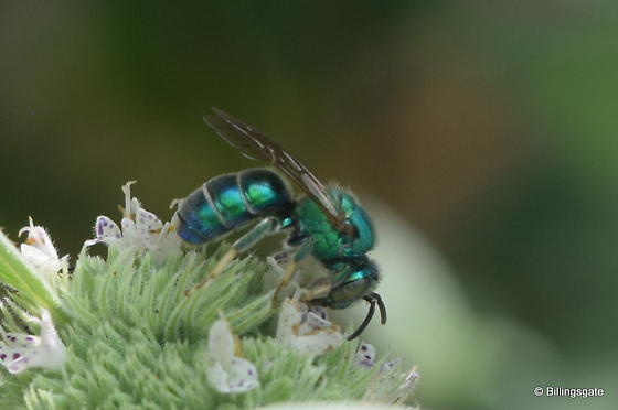 Is this Augochloropsis metallica? - Augochloropsis - male