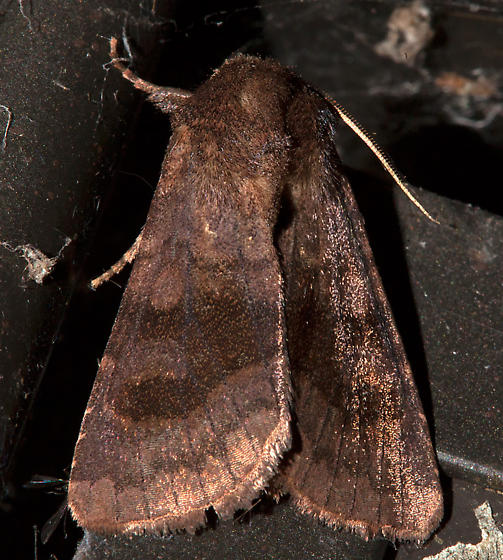 10524, Nephelodes minians, Bronzed Cutworm - Nephelodes minians
