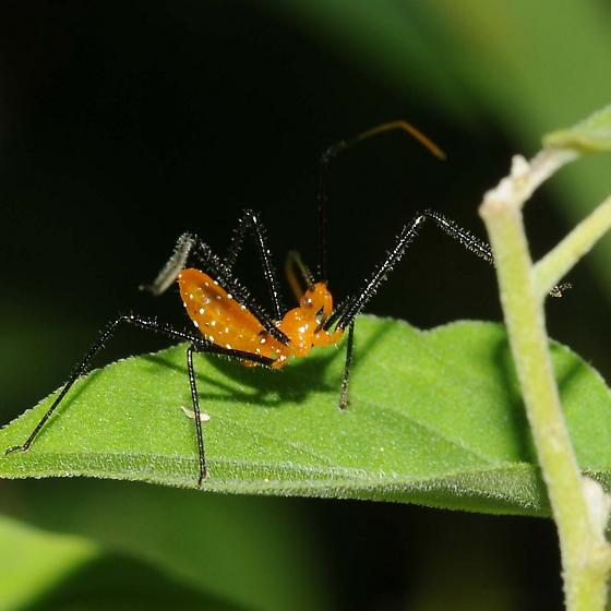Assasin bug nymph - Zelus longipes