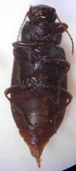 Darkling Beetle - Chilometopon