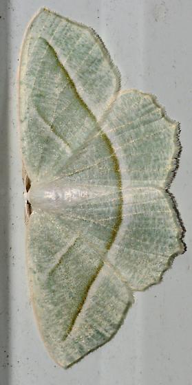 Pale green and white delicate moth - Campaea perlata - male