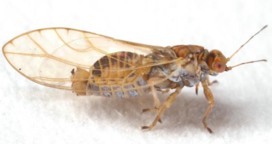 Triozidae - Kuwayama medicaginis - male
