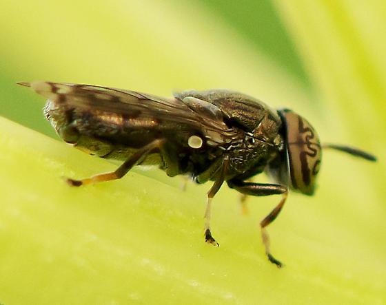 Deer fly? - Orthonevra nitida