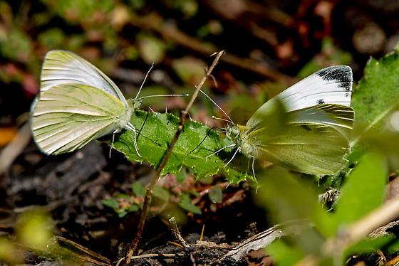 cabbage whites - Pieris rapae