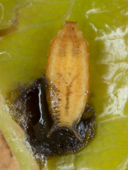 puparium - Leucopis americana