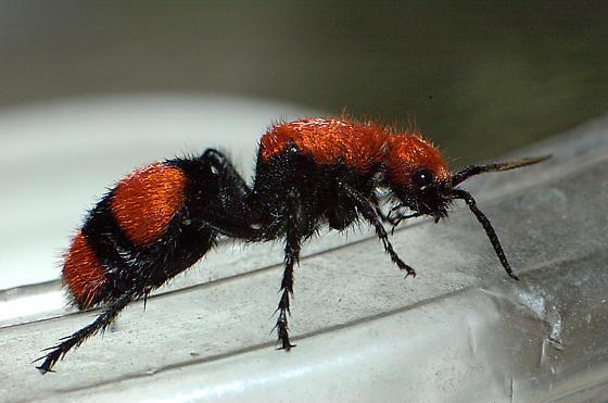 Cow Killer/ Red Velvet Ant - Dasymutilla occidentalis - female