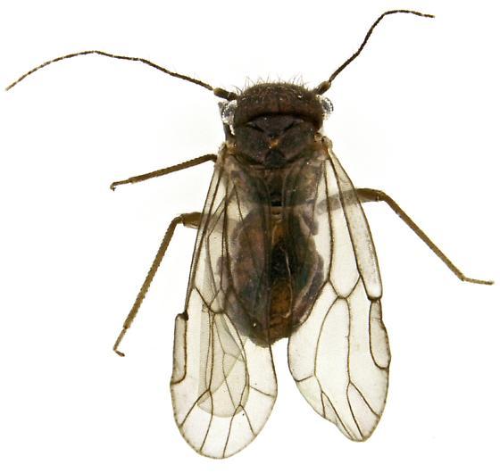 Psocid? - Ectopsocus vachoni - female