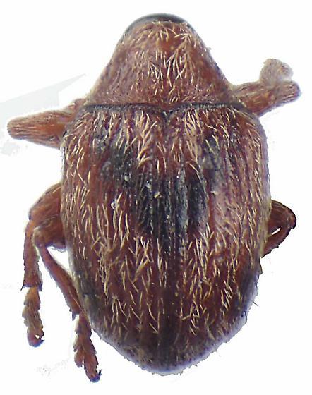 Pseudotychius watsoni Blatchley - Pseudotychius watsoni