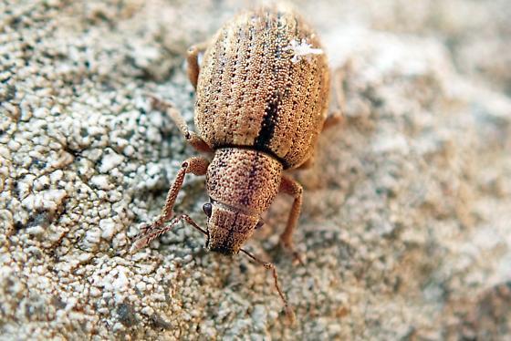 This a bug? - Strophosoma melanogrammum