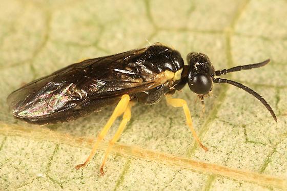 sawfly - Aneugmenus flavipes