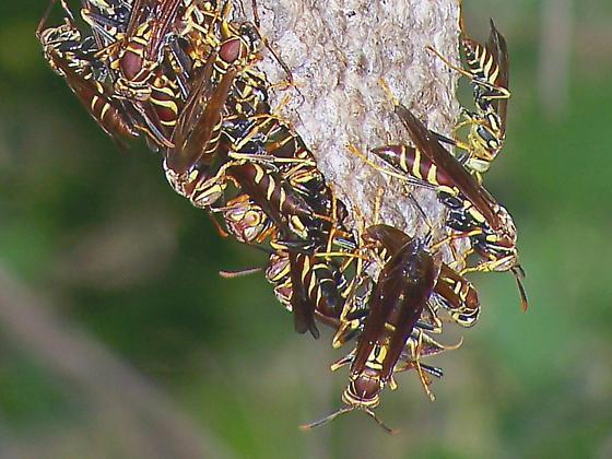 Paper Wasps, Polistes instabilis, on Nest - Polistes instabilis - male - female