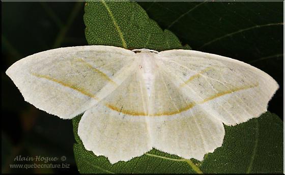 Moth - Campaea perlata