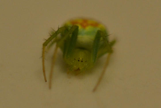 Possible Araneus cingulatus? - Araneus cingulatus