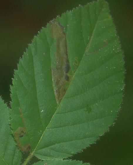 Lake Crabtree leaf miner on Rubus species D1070 2018 6 - Ectoedemia rubifoliella