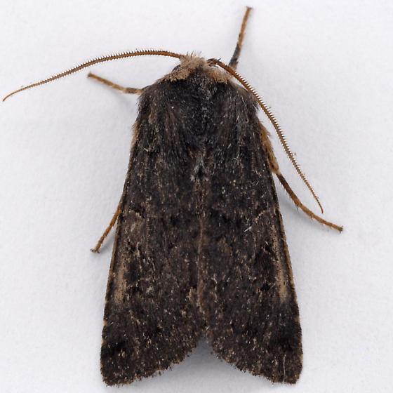 Unknown Noctuid - Orthosia praeses - male