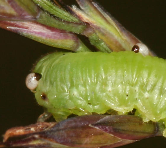 sawfly with parasites