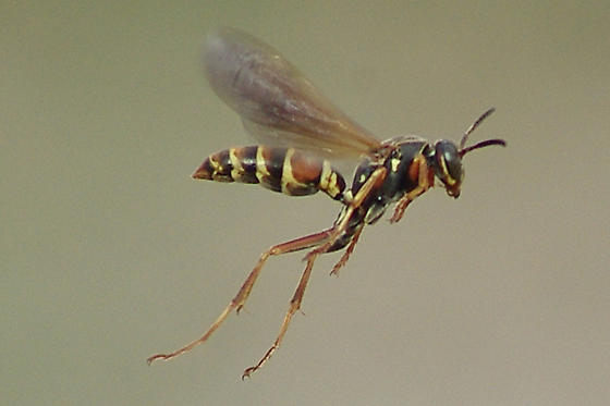 IMPG-14839-1 On the Wing - Polistes fuscatus