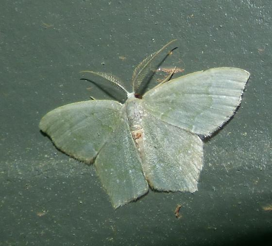Chloropteryx tepperaria – Angle-winged Emerald Moth ? - Chloropteryx tepperaria